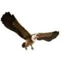 vautour-en-vol-95cm-d-envergure_14672.jpg